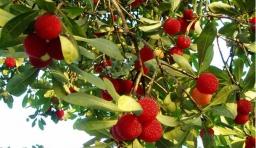 各種水果的藥理作用