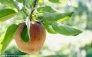 科學家計劃把維基百科寫入蘋果樹DNA中