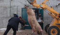 吉林大白豬兩年長到735斤 村民殺豬用鏟車