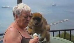 養家不容易!實拍猴子背著兒子搶冰激凌...