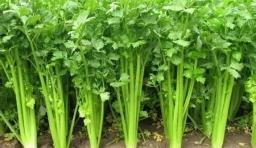 春天吃10菜種補足陽氣