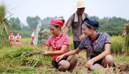 實拍空姐下鄉收稻子,風景這邊獨好,農民大哥心裡開了花